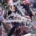 Photos: ブロッコリー栽培5