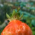 Photos: イチゴの成長4