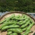 Photos: ソラマメ収穫2