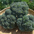 Photos: ブロッコリー収穫2
