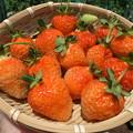 Photos: イチゴ収穫2