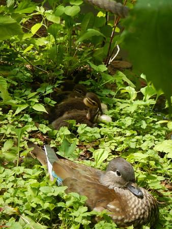 オシドリ雌と、オシドリの雛達