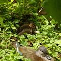 Photos: オシドリ雌と、オシドリの雛達