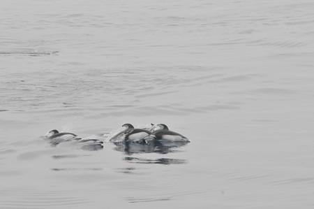 苫小牧沖のカマイルカの群れ