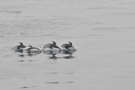 苫小牧沖のカマイルカの群れ2