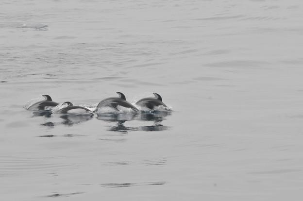 Photos: 苫小牧沖のカマイルカの群れ2