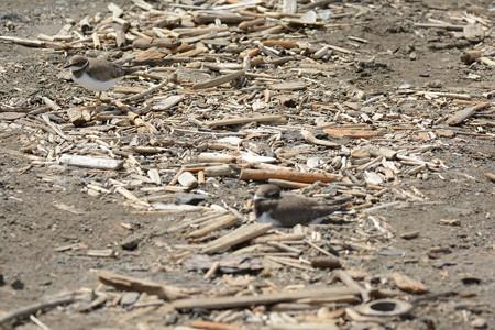 ハジロコチドリ幼鳥(手前)と、コチドリ幼鳥