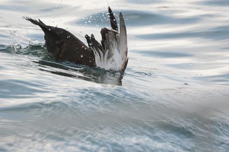 コケワタガモ若い雌の潜水2