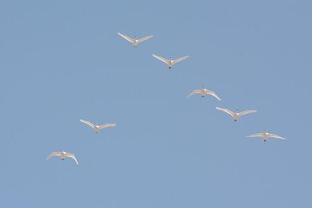 コハクチョウ 飛翔