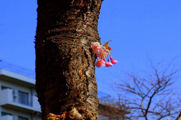 河津桜 幹にも 花が