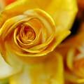Photos: 黄金の薔薇