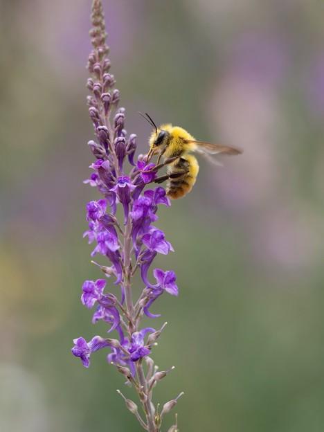 ハチさん、フサフサ