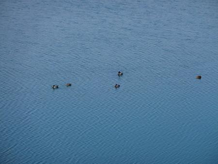 狭山湖の水鳥