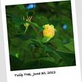 Tulip Tree 6-30-12