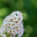 Photos: White Meadowsweet 7-22-12