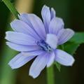 Blue Chicory 7-22-12