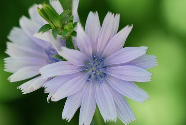 Photos: Common Chicory 7-22-12