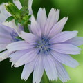 Common Chicory 7-22-12