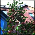 写真: Redvein Enkianthus by the Brick Wall 5-23-12