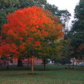 Maple Tree in the Morning Light 10-6-12