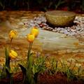 The Garden of Tulips 3-10-13