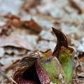 Skunk Cabbage 4-7-13