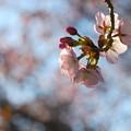 Sakura in the Evening 4-30-13