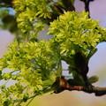 Norway Maple Flowers 5-1-13