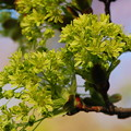 Norway Maple Flowers 5-1-13