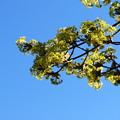 Norway Maple in the Sky 5-1-13
