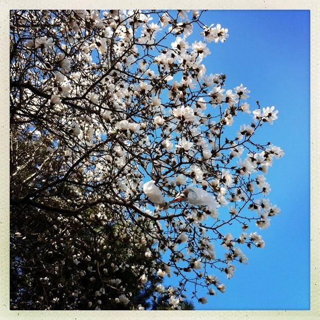 Magnolia and a Plastic Bag 5-1-13