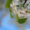 Callery Pear by the Bank 5-14-13