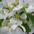 Spring Snow Crabapple 5-18-13