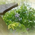 My First Wisteria Flower 6-2-13