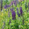 Photos: Wild Lupines 6-9-13