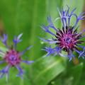 Photos: Mountain Cornflower 6-6-13