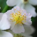 写真: Multiflora Rose 6-22-13