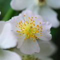 Photos: Multiflora Rose 6-22-13