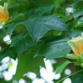 写真: Yellow-Poplar 6-22-13