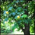 写真: The Tulip Tree 6-22-13