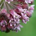 Commom Milkweed 7-6-13