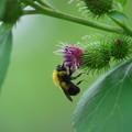 写真: A Sleeping Bumblebee 7-28-13