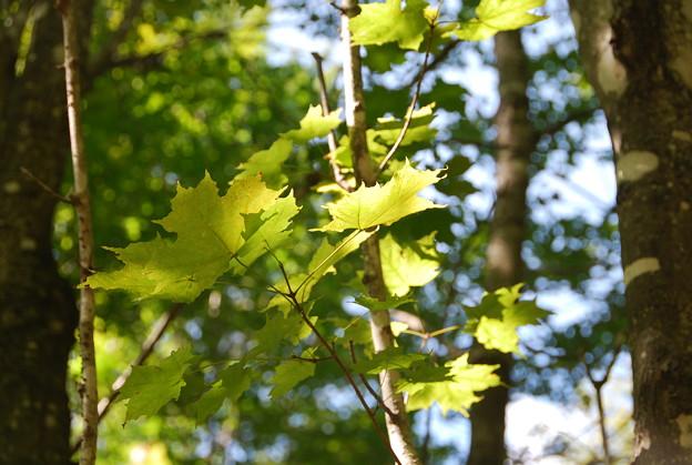 写真: Maple 9-1-13
