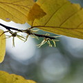 Witch Hazel Flowers 10-11-13