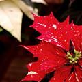 Photos: Poinsettias 12-8-13