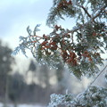 写真: Frozen Evergreen 12-25-13