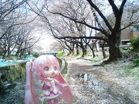 桜ミク:「風が吹くと、桜吹雪ですねぇ……」