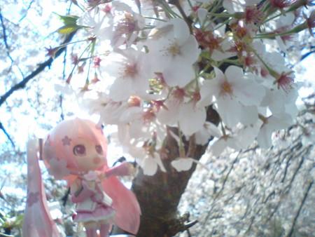 桜ミク:「今年も綺麗に咲いてくれて、ありがとうなのですー♪♪」