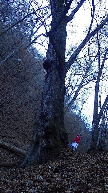 131123 トチの大木