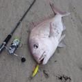 Photos: サーフ真鯛